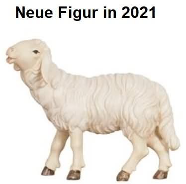801254 Ko - Schaf fressend Kopf hoch